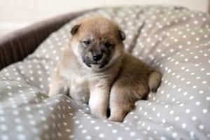 Cream shiba inu puppy in basket